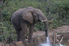 Afrikansk elefant, Loxodontaafricana som ser höger arkivbilder