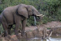 Afrikansk elefant, Loxodontaafricana som ser höger arkivfoto
