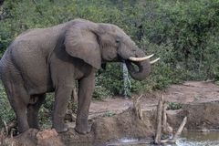 Afrikansk elefant, Loxodontaafricana som ser höger royaltyfri bild