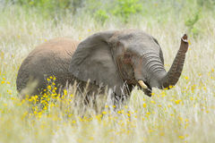 Afrikansk elefant mellan gula blommor arkivbilder