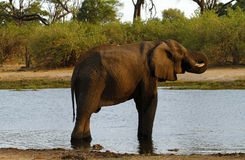 Afrikansk elefant på den Savuti kanalen Arkivbilder
