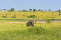 Afrikansk elefant på savannahen Arkivbild