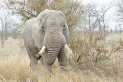 Afrikansk elefant som äter från en buske arkivfoto