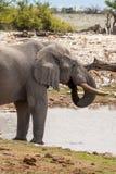 Afrikansk elefant som dricker på en Waterhole, Etosha nationalpark, Namibia arkivbilder