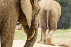 Afrikansk elefant som följer den kvinnliga partnern Royaltyfria Bilder