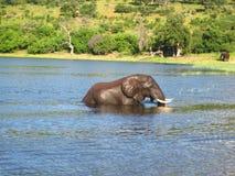 Afrikansk elefant som går i floden Arkivbild