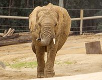 Afrikansk elefant som går in mot dig Royaltyfri Bild