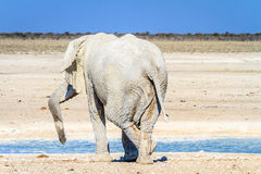 Afrikansk elefant som kopplar av på waterhole i den Etosha nationalparken, Namibia, Afrika royaltyfri fotografi