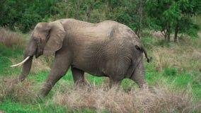 Afrikansk elefant som långsamt flyttar sig och äter gräset arkivfilmer