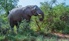Afrikansk elefant som matar i busken arkivfoton