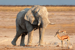 Afrikansk elefant som räknas i mud Royaltyfria Bilder