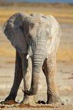 Afrikansk elefant som räknas i mud Arkivbild
