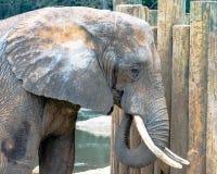 Afrikansk elefant som ser till rätten Arkivbild