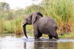 Afrikansk elefant som tycker om en skovel Arkivfoto