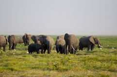 Afrikansk elefantfamilj royaltyfria bilder