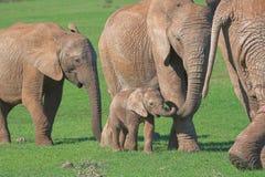afrikansk elefantfamilj Arkivbilder