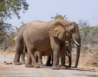 afrikansk elefantflock Arkivbilder