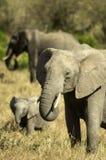 afrikansk elefantkenya mara masai Arkivfoton