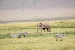 afrikansk elefantnationalparkserengeti Arkivfoto