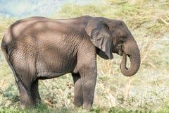 afrikansk elefantnationalparkserengeti Arkivbild
