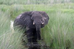 afrikansk elefantokavango Royaltyfri Bild