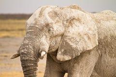 afrikansk elefantstående royaltyfria foton