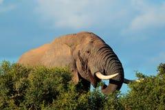 Afrikansk elefantstående Arkivbilder