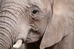 Afrikansk elefantstående royaltyfria bilder