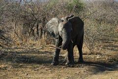 afrikansk elefanttonåring Arkivbild