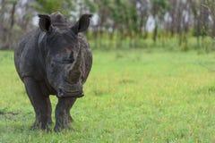 Afrikansk enhörning royaltyfri fotografi