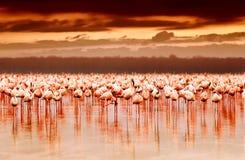 afrikansk flamingossolnedgång Arkivbild