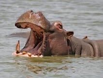 Afrikansk flodhäst Arkivfoton