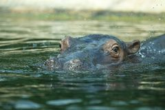 Afrikansk flodhäst Arkivbild