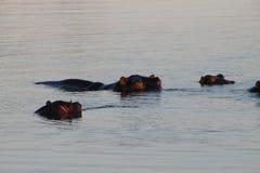 Afrikansk flodhäst Arkivfoto