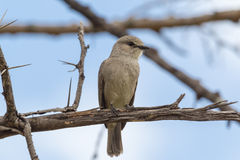afrikansk flycatchergrey mara masai Fotografering för Bildbyråer