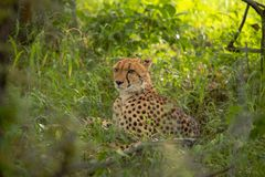 Afrikansk gepard, Masai Mara National Park, Kenya, Afrika Katt i naturlivsmiljö Hälsning av kattAcinonyxjubatusen fotografering för bildbyråer