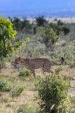 Afrikansk gepard på masaien mara Kenya royaltyfria foton