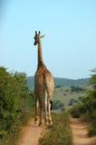 afrikansk giraff Arkivbilder