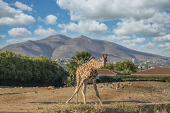 afrikansk giraff Arkivbild