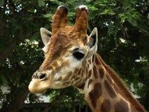 afrikansk giraff royaltyfri foto