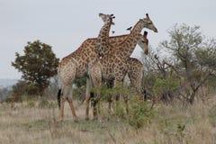 Afrikansk giraff` s för stridighet Arkivfoto