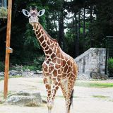 Afrikansk giraff som går i zoo av den Erfurt staden Royaltyfria Foton
