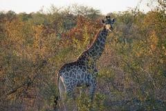 Afrikansk giraffKruger nationalpark i vildmarkhuvudet Royaltyfria Foton