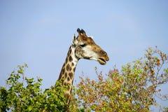 Afrikansk giraffKruger nationalpark i vildmarkhuvudet Arkivfoto