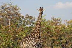 Afrikansk giraffKruger nationalpark i vildmarkhuvudet Fotografering för Bildbyråer