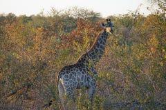 Afrikansk giraffKruger nationalpark i vildmarkhuvudet Arkivbilder
