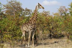 Afrikansk giraffKruger nationalpark i vildmarkhuvudet Arkivfoton