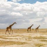 afrikansk giraffsavannah arkivbilder