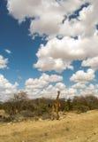afrikansk giraffsavannah arkivfoton