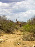 afrikansk giraffsavannah royaltyfria foton